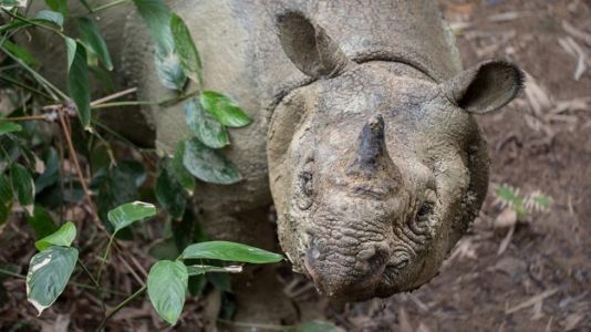 Scientists Capture Rare Photos of the World's Most Endangered Rhino