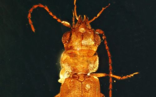 This nearly 100-million-year-old beetle is preserved so well it practically looks alive
