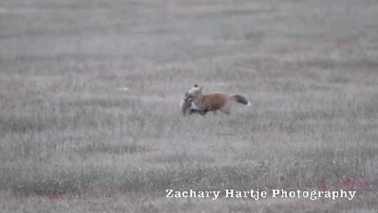 Photographer captures incredible moment a bald eagle accidentally scooped up a baby fox