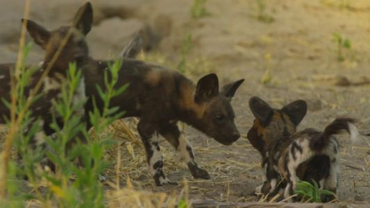 Watch This Cute Robot Puppy Make Friends With Wild Dogs