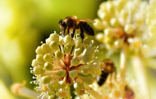 Popular weed killer may disrupt bee gut bacteria, increase death risk