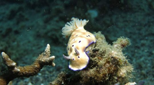 Solar-powered sea slugs grow new bodies by removing their own heads