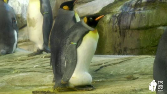 Gay Penguins Adopt Egg After Trying to Hatch Rocks