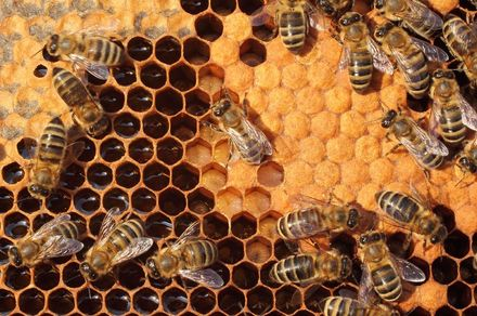 A hive of activity: using honey bees to measure urban pollution