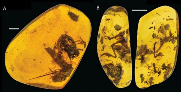 This tiny frog captured in ancient amber lived in the shadow of dinosaurs