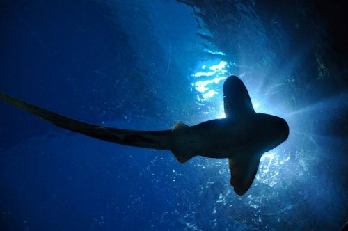 Researchers discover that sharks use Earth's magnetic fields for navigation