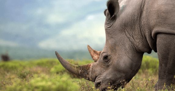 South Africa's first legal online rhino horn auction totally failed