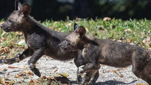 Endangered Painted Dog Pup Killed By Freak 'Guillotine Door' Failure at Florida Zoo