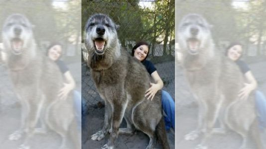 Photo of 'Enormous' Wolfdog at Florida Sanctuary Goes Viral on Instagram