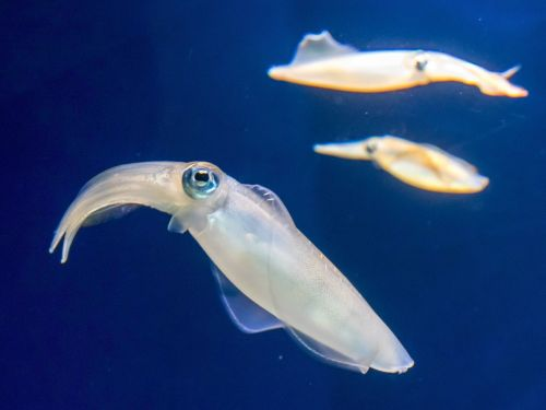 A famous California aquarium mocked a huge error in Apple's squid emoji