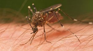 New 'Gene Drive' Can Wipe Out Disease-Carrying Mosquitoes