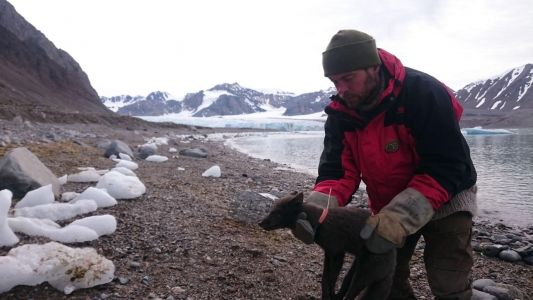 Here's How Scientists Tracked That Arctic Fox's Epic Journey