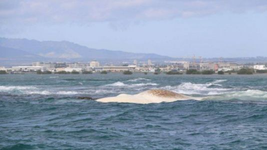Hawaii Officials Investigate Video of Man Standing on Whale Carcass