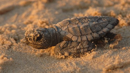 Despite All Odds, Sea Turtles Are Making Comeback