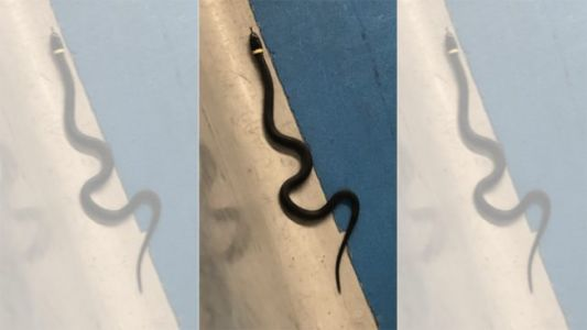 Airport Traveler Forgets Pet Snake at TSA Checkpoint