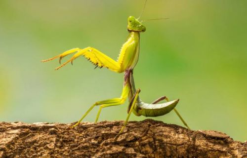Researchers observed mantis sexual deathmatches. for science