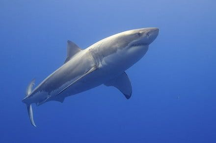 Scientists find surprises in great white shark genetic code