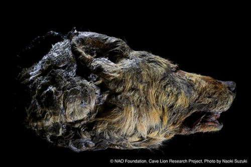 Preserved Head of 30,000 Year Old Wolf Discovered in Siberia