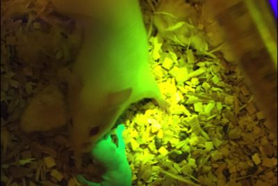Mouse with 3D-printed ovaries gives birth to healthy pups
