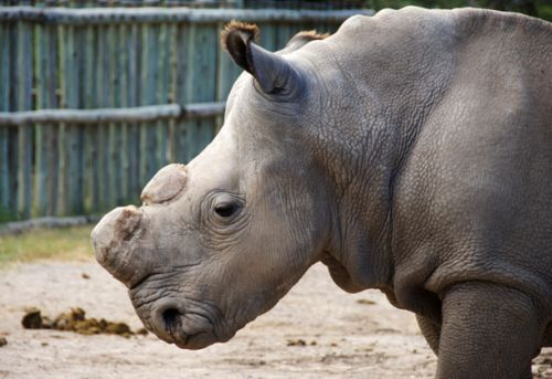 The very last male northern white rhino has died, but hope remains