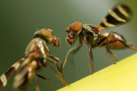 Biologists create a mutant fly with 140-million-year-old genes
