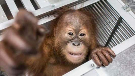 Drugged Orangutan Found in Tourist's Luggage in Bali Airport
