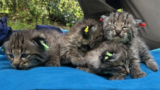 Bobcat That Survived California Wildfire Gives Birth to Four Kittens