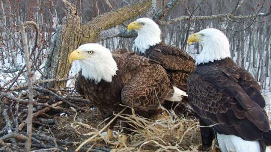 Watch: Rare Trio of Bald Eagles Raise Eaglets Together on the Mississippi River