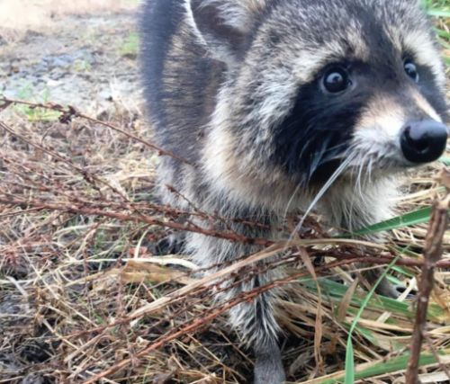 Police jailed drunk raccoons in West Virginia because they were being obnoxious