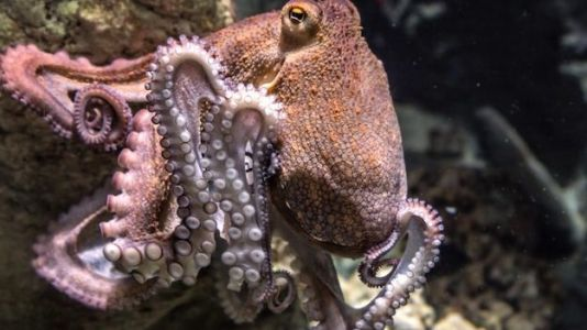 They Swim Among Us: Are Octopuses Actually Extraterrestrials?