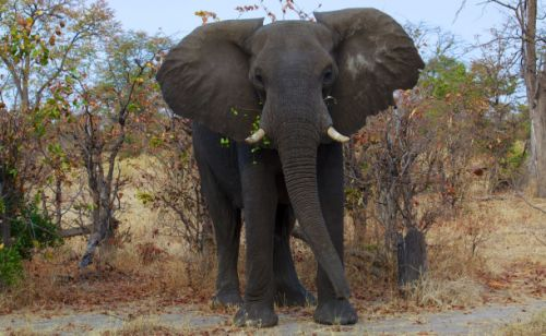 Mysterious 'zombie gene' prevents elephants from getting cancer