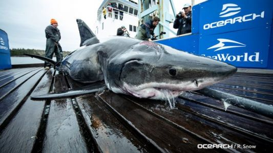 Great White Shark Was Bitten By Even Bigger Shark, Researchers Say