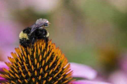 University of Washington scientists create tiny sensor package that bees can carry
