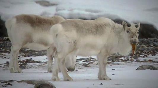 Climate Change Is Forcing Reindeer to Eat Seaweed