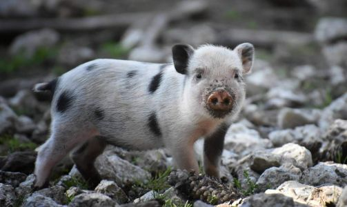 Pigs can breathe through their butts, sort of, and that's a big deal