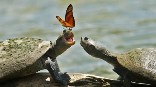 Watch: Butterflies Drink Tears Straight Out of Turtles' Eyes